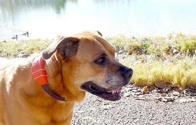 WÜF智能狗圈内置GPS和双向音频通话功能可以和狗狗远程联系